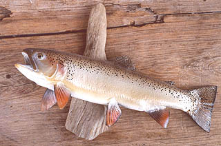 A photo of Gila Trout on display at the Contact Station.