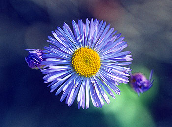A photo of a brilliant blue fleabane with a yellow center seen along a trail.