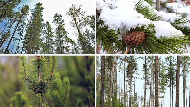 Collage of lodgepole pine