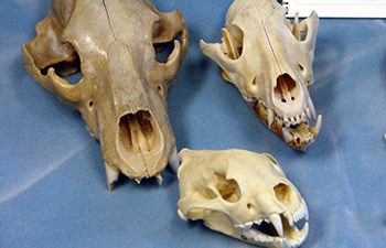 Three mammal skulls