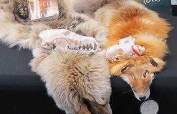 Skull sitting on wolf and fox pelts laying on table