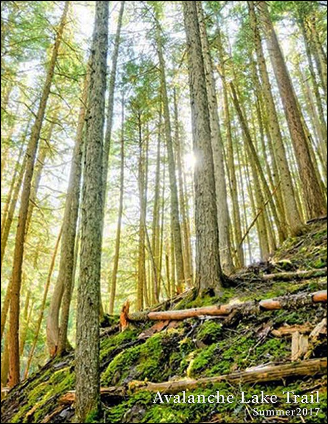 The sun shines through cedar and hemlock trees on Glacier's west side of the park.