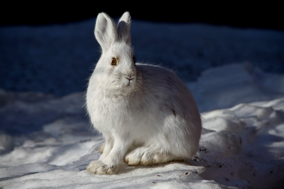 Snow Shoe Hare in winter when it is white