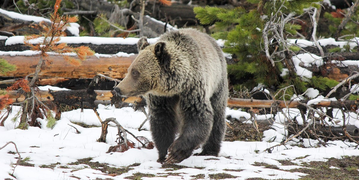 Grizzly bear looks to its right while strolling over ground with patchy snow