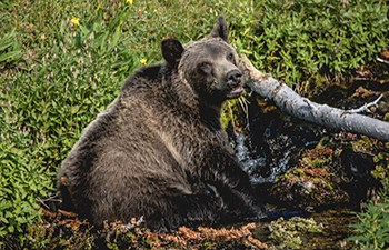 Grizzly bear lounges in babbling brook