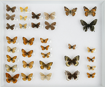 Traditional butterfly collection