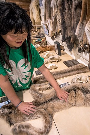 Smiling kid pets lynx pelt on counter, with other pelts adorning the walls