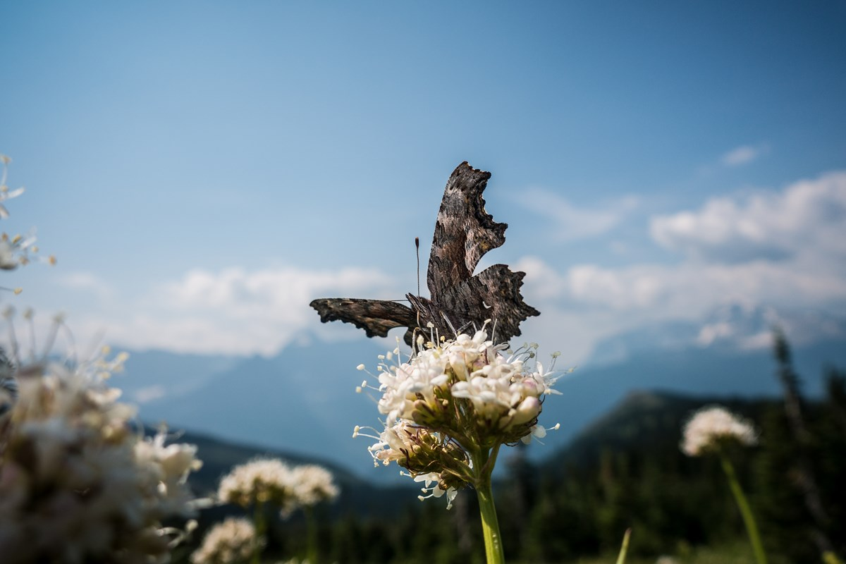 A butterfly on a flower with mountains in the background.