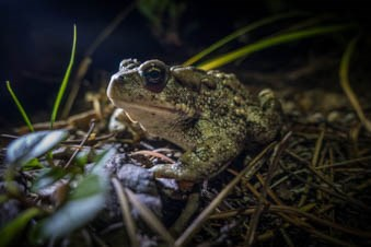 A toad sits in grass in the dark.
