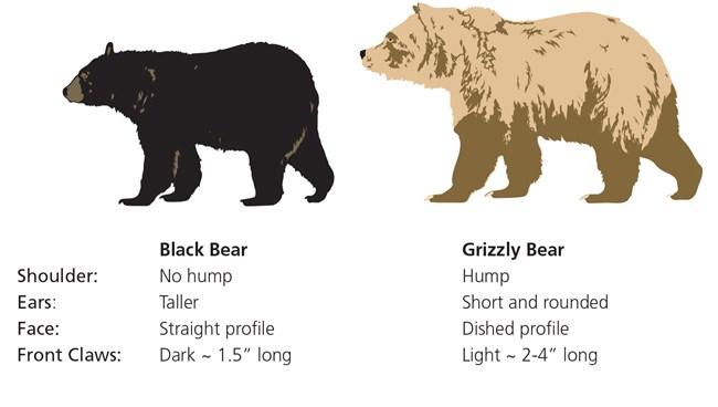 Black bear vs grizzly bear