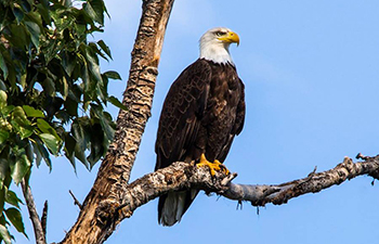 eagle with dark body, white head, and yellow beak perched in tree