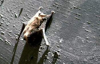 small brown bat clings to board