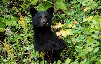 head and upper body of black bear amid berry bushes