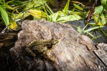 A frog sits on a wet log.