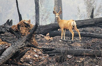 antlered deer stands amid burnt forest