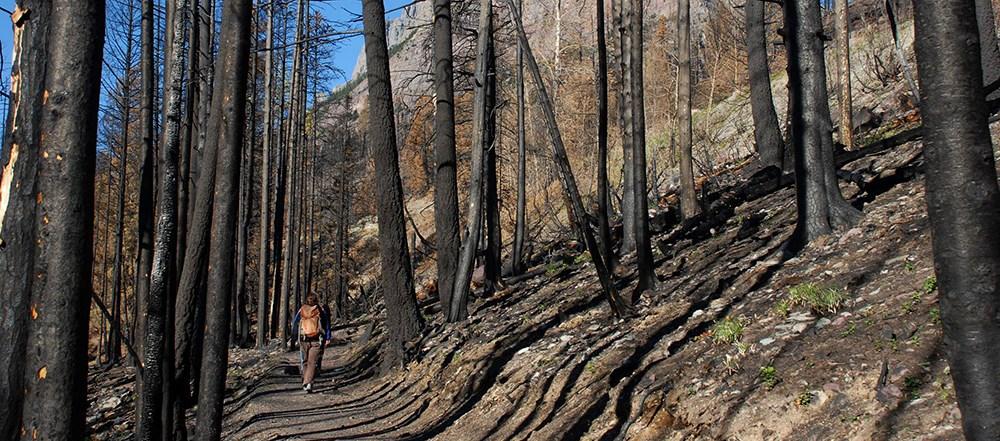 hiker walks on trail through tall snags in recent burn area
