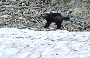 wolverine walks on rocks above snowfield