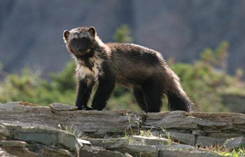 wolverine with light colored fur on shoulders stands on rocks