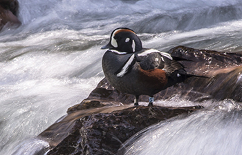 multicolored duck sits on rock amid fast moving water