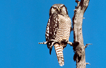 brown and white mottled owl in tree with blue sky behind