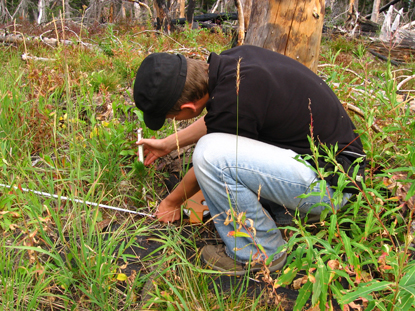 CCRLC Intern Measuring native plant growth.