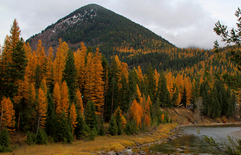 golden conifers stand in contrast to green ones by a river