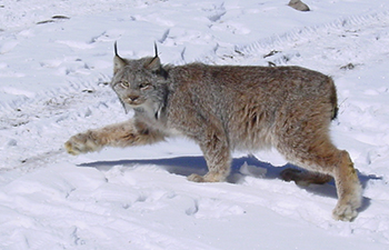 lynx midstep with front paw outstretched walks on snow