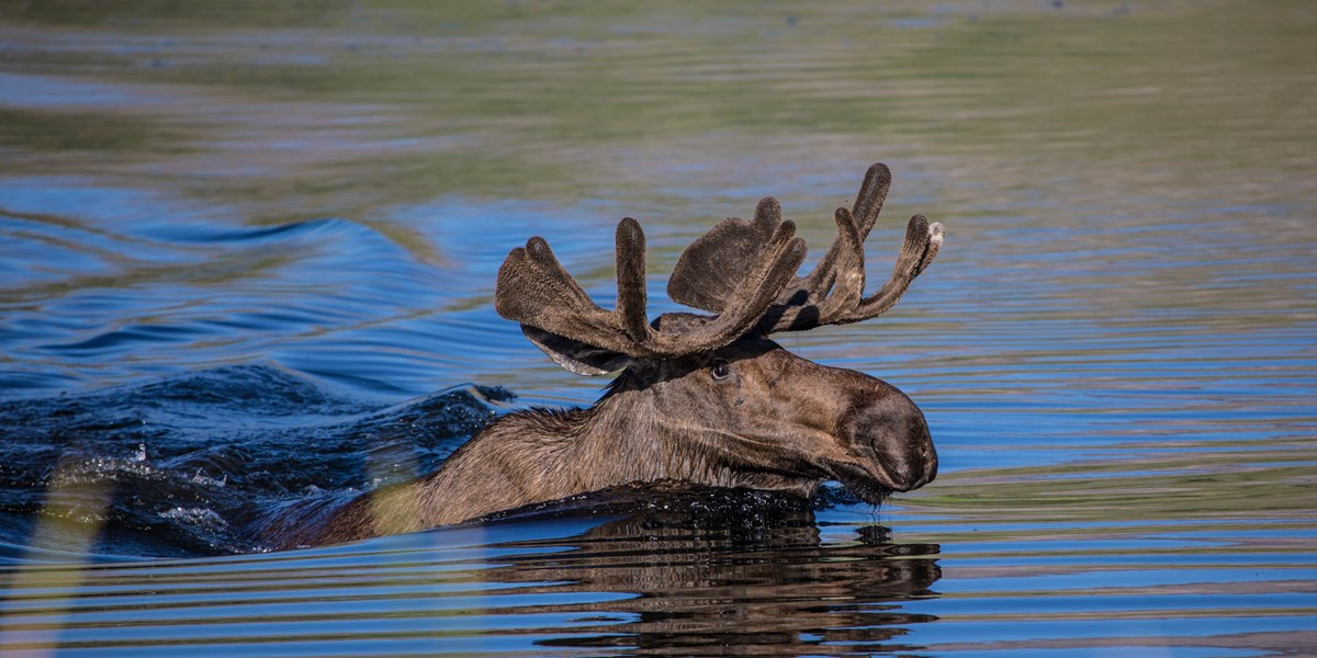 A moose swims through water.