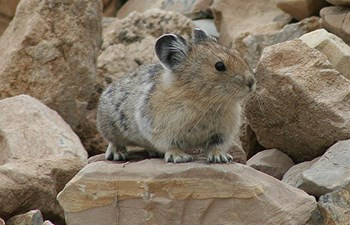 potato sized furry rodent sits on rock