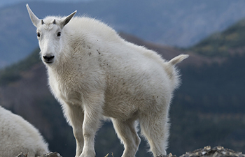 young goat with thick white fur and small horns