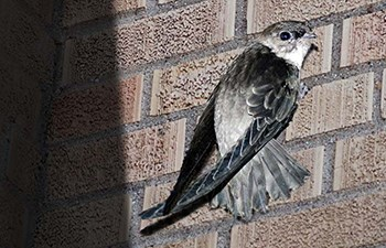 grey and white bird clings to brick wall