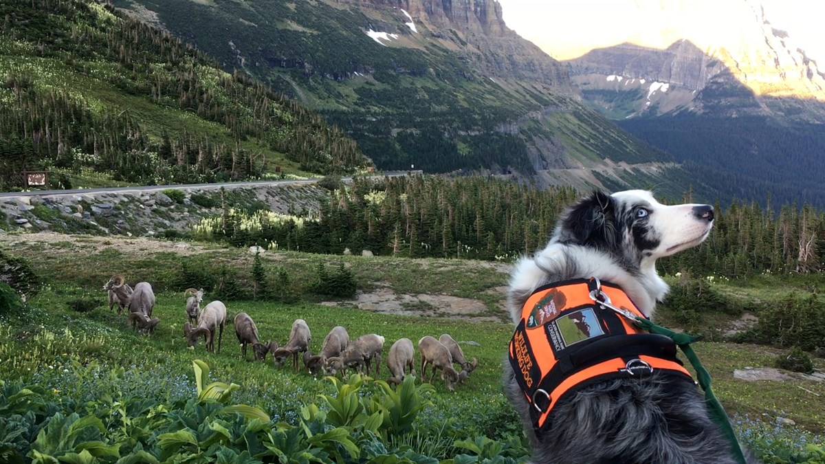Gracie looks back at Ranger Mark Biel while watching a herd of bighorn rams grazing just downhill from the Logan Pass parking lot, Glacier National Park. Gracie and Ranger Mark prevented these sheep from ever entering the parking lot. July 2017