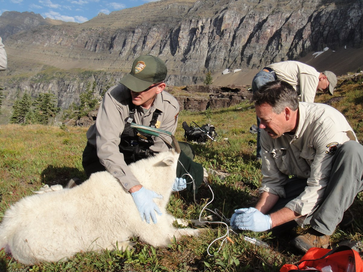 Mark Biel and Montana Fish Wildlife and Parks staff evaluate a mountain goat to place a GPS collar for ongoing research at Logan Pass.