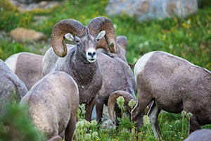 Bighorn Sheep looks up from among grazing herd