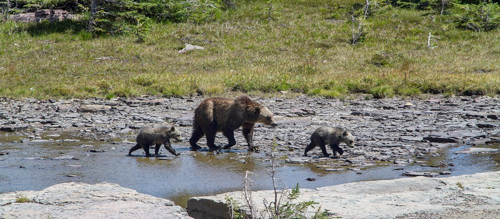 Grizzly sow and two cubs cross a creek
