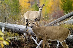 two White-tailed deer