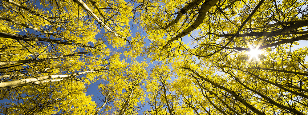 looking up at circle of golden colored aspen