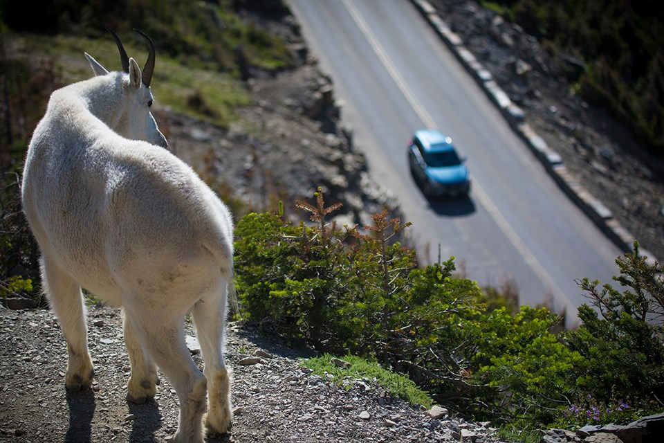 A mountain goat looks down on a car traveling the Going-to-the-Sun Road