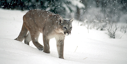 mountain lion walks through snow