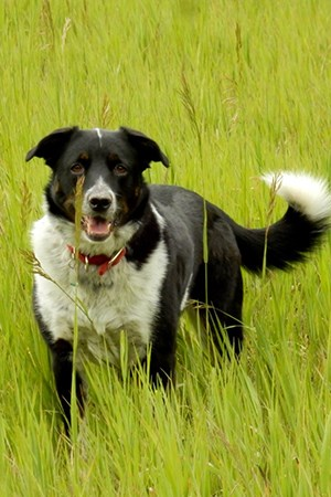 border collie stands in tall grass