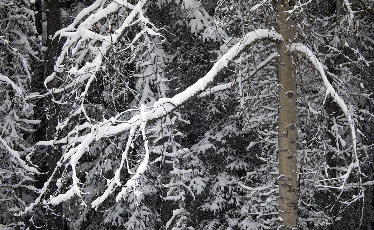snow on boughs of aspen tree with snowy forest in background