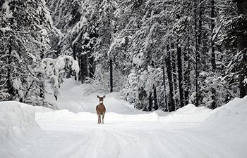 Whitetail deer stands in middle of snow covered roadway