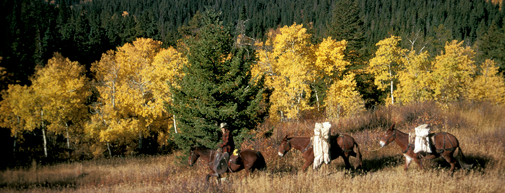 mounted rider leads pack string past yellow aspen grove