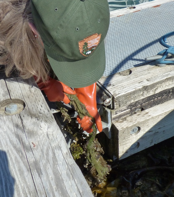A ranger pulls a metal plate covered with sea life from the water