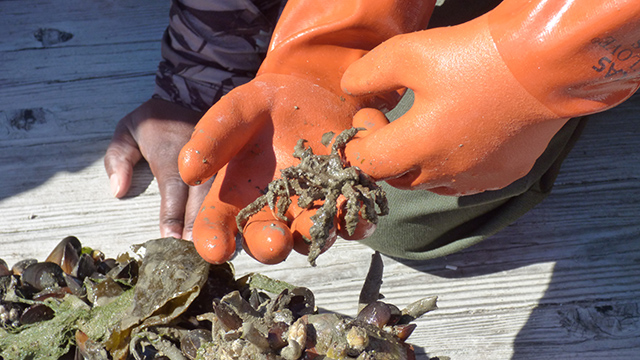 Gloved hands hold a decorator crab with seaweed