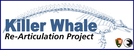 Killer whale articulation project