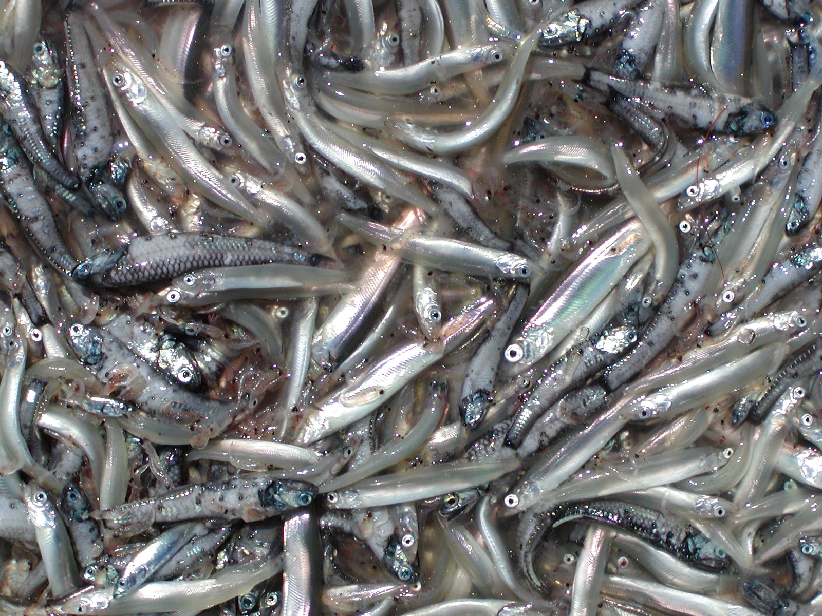 capelin_krill_northern lampfish