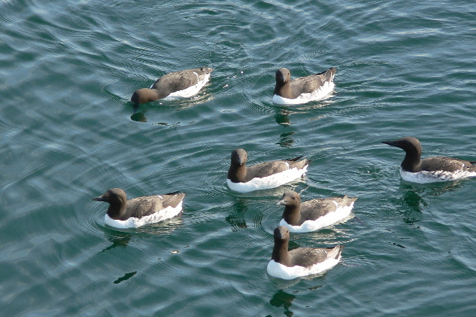 In summer 2015, an unusual abundance of common murres was sighted in Glacier Bay.