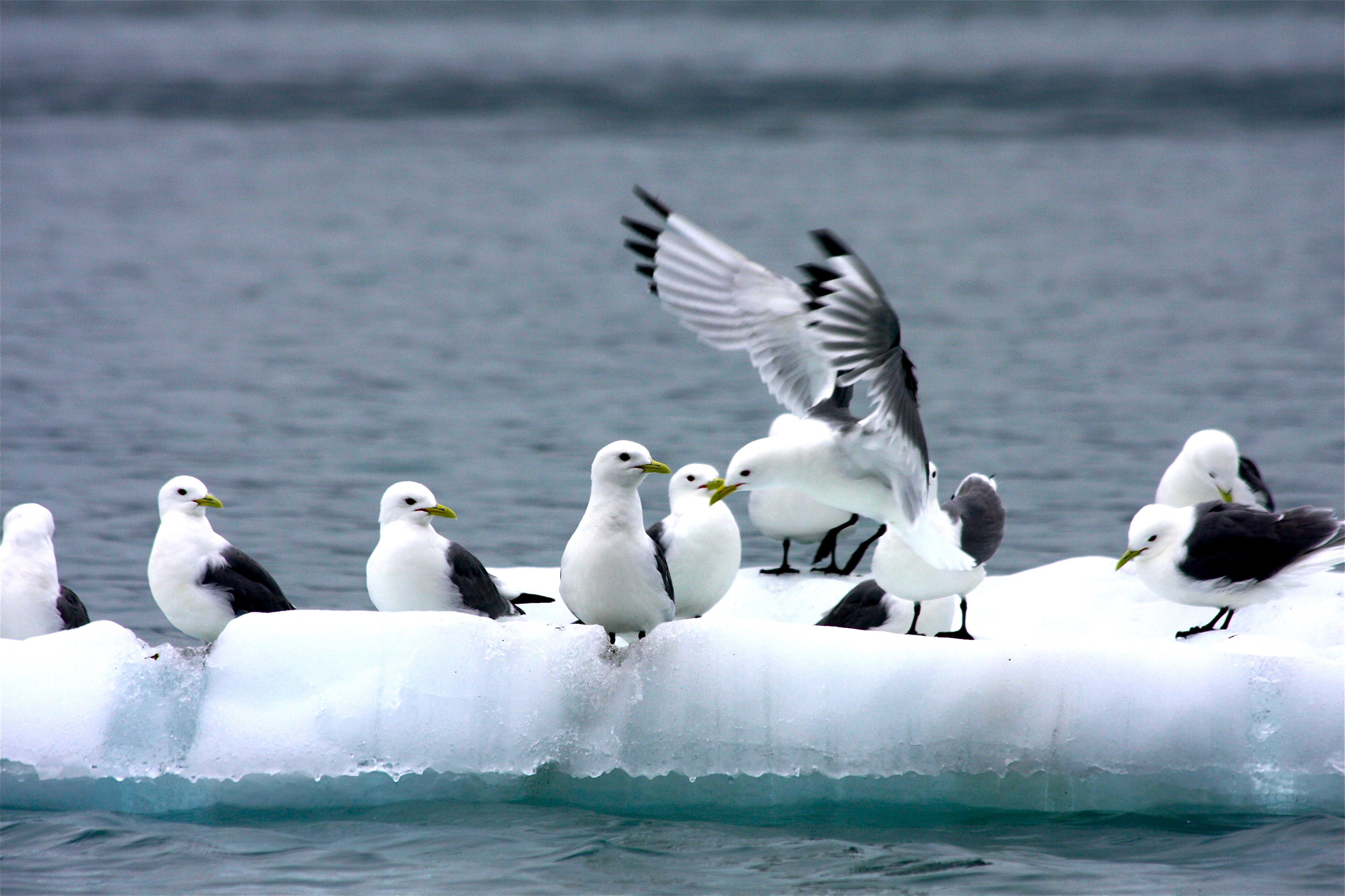 kittiwakes_on_ice