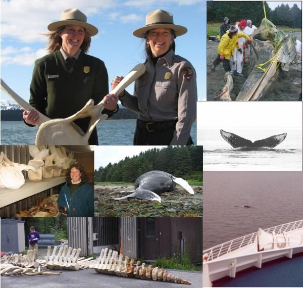 Follow our blog and learn about Whale 68 and the project to return her bones to Bartlett Cove as a magnificent display.